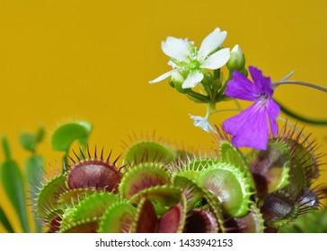 Dionaea Muscipula Typical form. Venus Flytrap flower white, Pinguícula flower - Predatory plant, Carnivorous Plant