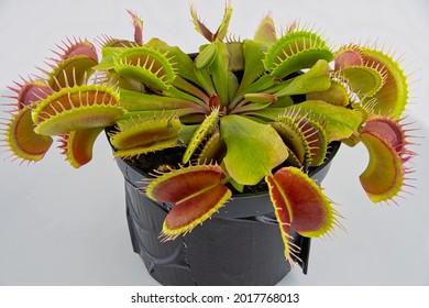 Dionaea Muscipula Venus Flytrap - Predatory plant, Carnivorous Plant