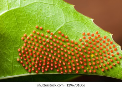 Dione juno caterpillar butterfly eggs on passionfruit leaf - high magnification