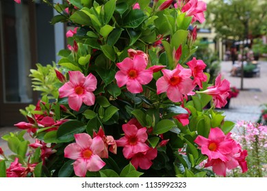 Dipladenia / Beautiful red flowers in the garden