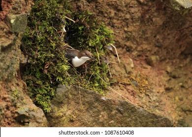 Dipper builging his nest