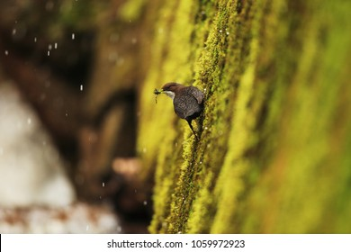 Dipper collect construction material for nest