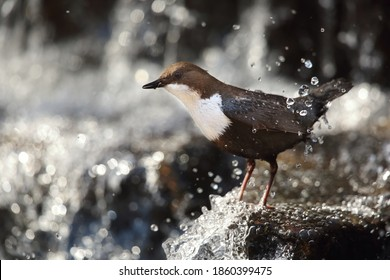 Dipper inside the waterfall in spring