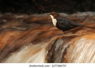 Dipper near nest