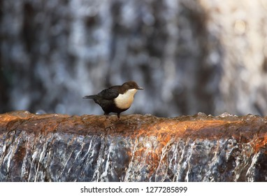 Dipper on waterfall