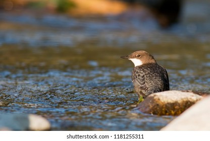 Dipper sitting on a stone
