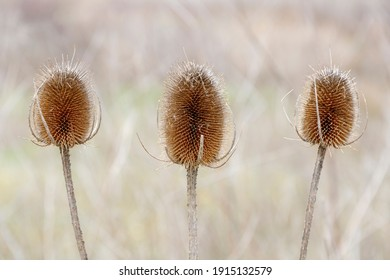 Dipsacus fullonum. Detail of the spiny and conical heads of the carders thistle. Wild teasel.