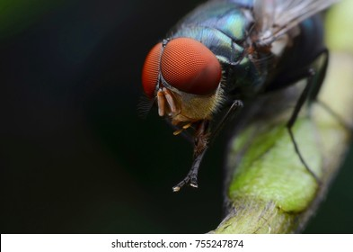 Diptera Fly Insect in nature.