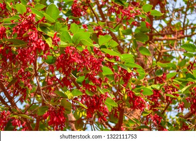 Dipterocarpus intricatus,Large perennials, local plants in Southeast Asia Like to go up in open fields Let the flowers bright red under the green of the leaves.