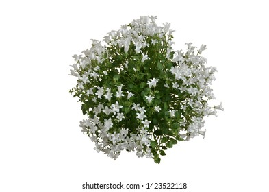 Directly above view on potted blooming white Campanula plant. Isolated on white background.