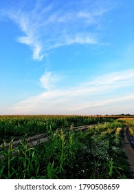 A dirt country road through the green agricultural corn field at sunset. Clear blue sky. Moscow region, Russia. Environmental conservation, traditional craft, alternative energy, healthy food concepts