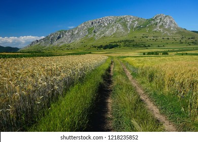 Dirt and grass road in a field of golden wheat with Piatra Secuiului Mountain in Transylvania, Romania. Ecotourism, rural landscape in summer on a sunny day