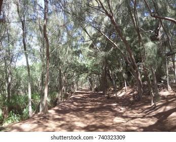 Dirt path through palm trees, Kauai, Hawaii