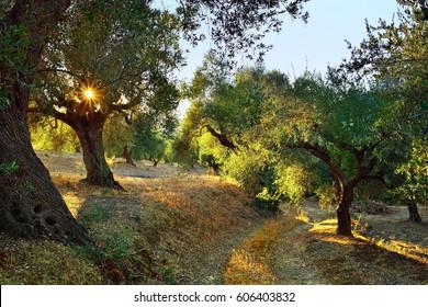 Dirt road among olive trees under bright sunlight beams. Kalamata, Messinia, Greece