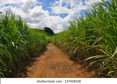Dirt road among sugarcane plantation. Mauritius