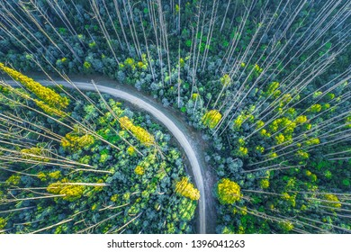 Dirt road bend in eucalyptus forest with tall bare trees recovering from bush fire - aerial view