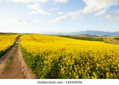 Dirt road between canola fields on a farm leading away from viewer