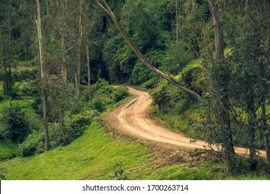 Camino sucio entre los eucaliptos