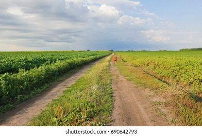 Dirt road between fields with blue sky in background. Rural place with ecological production of natural products.