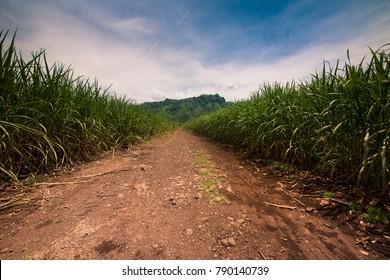 Dirt road between the sugar cane in Guatemala.