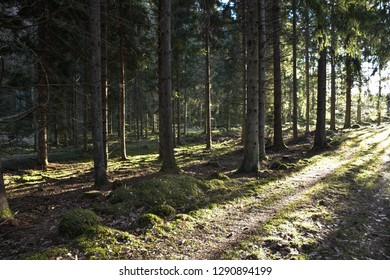 Dirt road in a bright sunlit coniferous forest