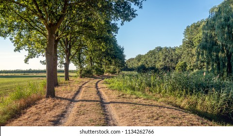 Dirt road with cart tracks along a row of trees on one side and reeds on the other site. The photo was taken on a warm summer evening just before sunset.
