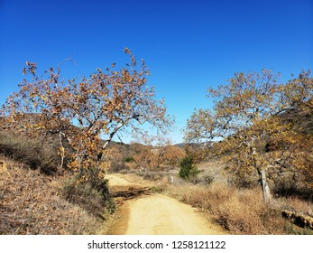 Dirt road leading past sycamore trees showing fall colors, Orange County, CA