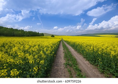 Dirt road leading through a field of flowering rapeseed on a sunny day. A vast field of blooming canola under a bright blue sky and beautiful white clouds. Hills covered with forest in the background.