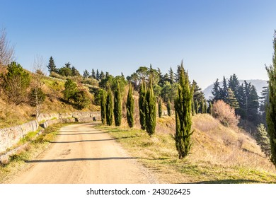 Dirt road, lined by cypress trees in the hills of cultivated fields of grapevines and olive trees in a winter sunny day. Sharp bending from left to right