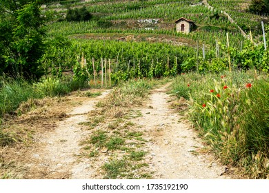 Dirt road in a middle of growing grapevines leading to the top of the hill of Cornas village, in french Rhone valley.