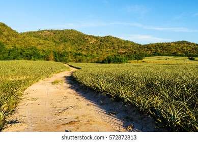 dirt road path near green pineapple field against blue sky