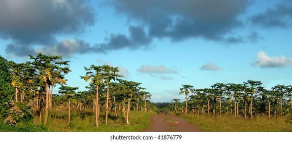 Dirt road splits papaya field in half.  Fruits ripen on trees and blue sky with intermingled grey clouds fill sky over papaya field on Big Island of Hawaii.