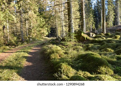 Dirt road through a sunlit mossy coniferous forest