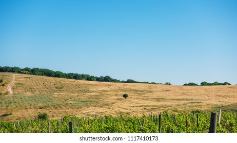 A dirt road and a tree on a slope of a yellow hill and a vineyard