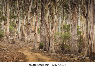 A dirt road winding through a gumtree forest
