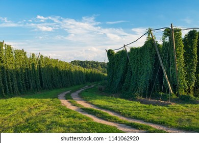 Dirt road within hop field before harvest.