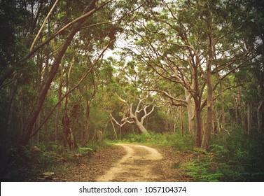 Dirt track through Angophora and eucalyptus forest, Royal National Park, Sydney, NSW, Australia