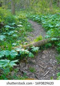 Dirt trail curving through lush woods with mayapples (Podophyllum peltatum) bordering the path in spring.