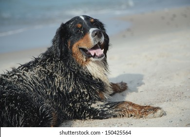 dirty bernese mountain dog lies in sand looks at camera near sea
