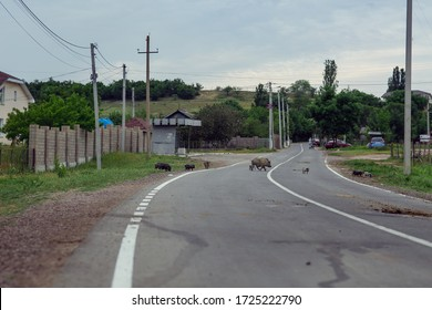 Dirty brown boars running across an asphalt road in the countryside. A family of wild boars with small boars on the background of nature. The horizon line is visible. Landscape orientation