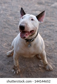 Dirty Bull Terrier posing for a picture