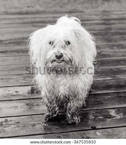 Dirty Dog Black White Stockfoto Jetzt Bearbeiten 367535810