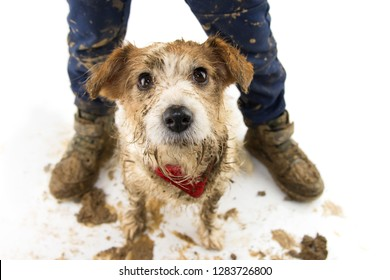 DIRTY DOG AND CHILD. FUNNY JACK RUSSELL  AND BOY LEGS AFTER PLAY IN A MUD PUDDLE. ISOLATED SHOT AGAINST WHITE BACKGROUND. STUDIO SHOT.