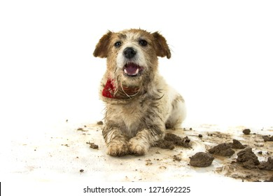 DIRTY DOG. FUNNY JACK RUSSELL PUPPY, LYING DOWN WITH A HAPPY EXPRESSION AFTER PLAY IN A MUD PUDDLE. ISOLATED SHOT AGAINST WHITE BACKGROUND.
