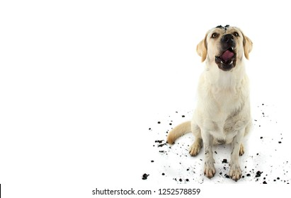 DIRTY DOG. FUNNY MUDDY LABRADOR RETRIEVER MAKING A FACE AFTER PLAY INA MUD PUDDLE. ISOLATED STUDIO SHOT AGAINST WHITE BACKGROUND.