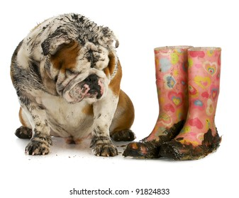 dirty dog and muddy boots - english bulldog sitting beside rubber boots on white background