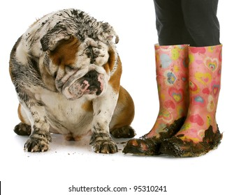 dirty dog and muddy boots - english bulldog sitting beside woman wearing rubber boots on white background