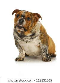 dirty dog - muddy english bulldog looking up with reflection on white background