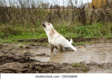 dirty dog sits in the puddle and howls