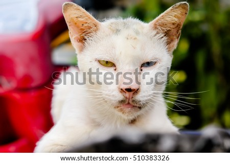 Dirty Face Cat Siamese Cat White Stock Photo Edit Now 510383326